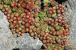 Sierra Nevada Hens And Chicks (Sempervivum nevadense) at Squak Mountain Nursery