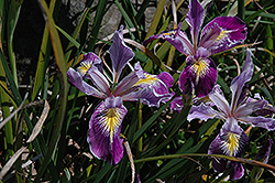 Tough Leaf Iris (Iris tenax) at Squak Mountain Nursery