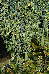 Feelin' Blue Deodar Cedar (Cedrus deodara 'Feelin' Blue') at Squak Mountain Nursery