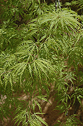 Filigree Green Lace Japanese Maple (Acer palmatum 'Filigree Green Lace') at Squak Mountain Nursery