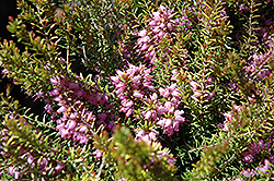 Mary Helen Heath (Erica x darleyensis 'Mary Helen') at Squak Mountain Nursery