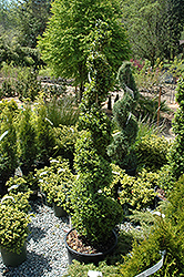 Common Boxwood (spiral) (Buxus sempervirens '(spiral)') at Squak Mountain Nursery