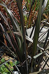 Platt's Black New Zealand Flax (Phormium 'Platt's Black') at Squak Mountain Nursery