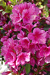 Girard's Purple Azalea (Rhododendron 'Girard's Purple') at Squak Mountain Nursery