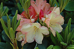 Seaview Sunset Rhododendron (Rhododendron 'Seaview Sunset') at Squak Mountain Nursery