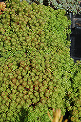 Mossy Stonecrop (Sedum lydium) at Squak Mountain Nursery