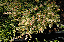 Kerstin Heather (Calluna vulgaris 'Kerstin') at Squak Mountain Nursery