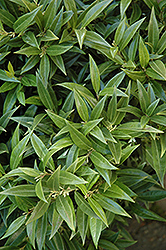 Fragrant Valley Sweet Box (Sarcococca hookeriana 'Sarsid 1') at Squak Mountain Nursery