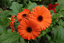 Orange Gerbera Daisy (Gerbera 'Orange') at Squak Mountain Nursery