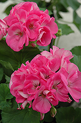 Maestro Pink Geranium (Pelargonium 'Maestro Pink') at Squak Mountain Nursery