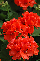 Patriot Orange Geranium (Pelargonium 'Patriot Orange') at Squak Mountain Nursery
