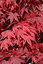 Emperor I Japanese Maple (Acer palmatum 'Wolff') at Squak Mountain Nursery