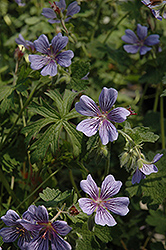 Brookside Cranesbill (Geranium 'Brookside') at Squak Mountain Nursery