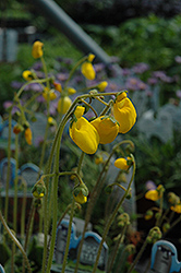 Goldcap Pocketbook Flower (Calceolaria biflora 'Goldcap') at Squak Mountain Nursery