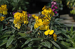 Fragrant Sunshine Wallflower (Erysimum 'Fragrant Sunshine') at Squak Mountain Nursery