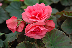 Solenia® Light Pink Begonia (Begonia 'Solenia Light Pink') at Squak Mountain Nursery