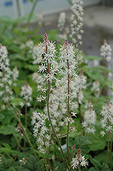 Dark Star Foamflower (Tiarella 'Dark Star') at Squak Mountain Nursery