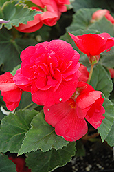 Nonstop® Rose Pink Begonia (Begonia 'Nonstop Rose Pink') at Squak Mountain Nursery