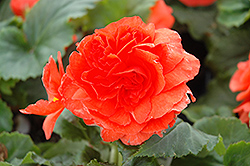Nonstop® Salmon Begonia (Begonia 'Nonstop Salmon') at Squak Mountain Nursery