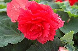 Nonstop® Bright Red Begonia (Begonia 'Nonstop Bright Red') at Squak Mountain Nursery