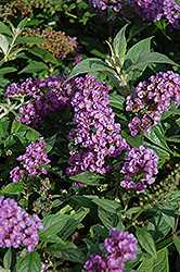 Lo And Behold® Purple Haze Dwarf Butterfly Bush (Buddleia 'Lo And Behold Purple Haze') at Squak Mountain Nursery