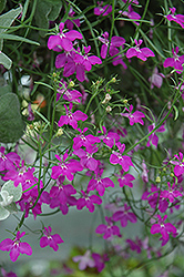 Techno® Heat Violet Lobelia (Lobelia erinus 'Techno Heat Violet') at Squak Mountain Nursery