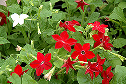 Saratoga Mix Flowering Tobacco (Nicotiana 'Saratoga Mix') at Squak Mountain Nursery