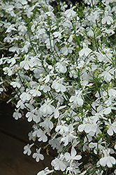 Techno® Heat White Lobelia (Lobelia erinus 'Techno Heat White') at Squak Mountain Nursery