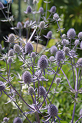Jade Frost Variegated Sea Holly (Eryngium planum 'Jade Frost') at Squak Mountain Nursery