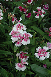 Wee Willie Sweet William (Dianthus barbatus 'Wee Willie') at Squak Mountain Nursery