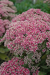 Mr. Goodbud Stonecrop (Sedum 'Mr. Goodbud') at Squak Mountain Nursery