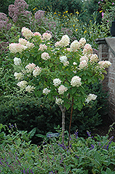 Limelight Hydrangea (tree form) (Hydrangea paniculata 'Limelight (tree form)') at Squak Mountain Nursery