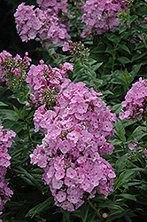 Juliet Garden Phlox (Phlox paniculata 'Juliet') at Squak Mountain Nursery
