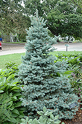 Sester Dwarf Blue Spruce (Picea pungens 'Sester Dwarf') at Squak Mountain Nursery