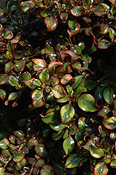 Tequila Sunrise Coprosma (Coprosma repens 'Tequila Sunrise') at Squak Mountain Nursery