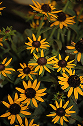 Little Goldstar Coneflower (Rudbeckia fulgida 'Little Goldstar') at Squak Mountain Nursery