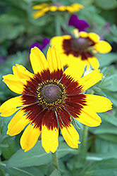 Sonora Coneflower (Rudbeckia hirta 'Sonora') at Squak Mountain Nursery