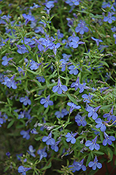 Techno® Heat Electric Blue Lobelia (Lobelia erinus 'Techno Heat Electric Blue') at Squak Mountain Nursery