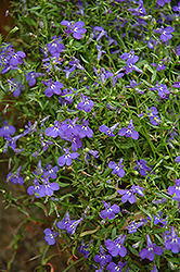 Techno® Heat Blue Lobelia (Lobelia erinus 'Techno Heat Blue') at Squak Mountain Nursery