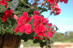Precision Dark Salmon Ivy Leaf Geranium (Pelargonium peltatum 'Precision Dark Salmon') at Squak Mountain Nursery