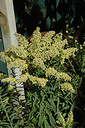 Little Lemon Goldenrod (Solidago 'Dansolitlem') at Squak Mountain Nursery