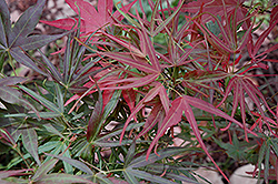 Villa Taranto Japanese Maple (Acer palmatum 'Villa Taranto') at Squak Mountain Nursery