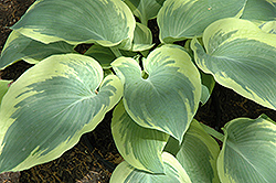 Northern Exposure Hosta (Hosta 'Northern Exposure') at Squak Mountain Nursery