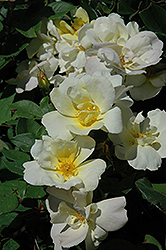 Sunny Knock Out® Rose (Rosa 'Radsunny') at Squak Mountain Nursery