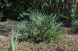 Mediterranean Fan Palm (Chamaerops humilis) at Squak Mountain Nursery