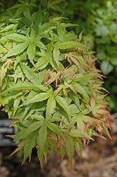 Sharp's Pygmy Japanese Maple (Acer palmatum 'Sharp's Pygmy') at Squak Mountain Nursery