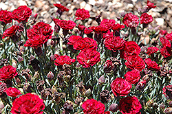 SuperTrouper™ Butterfly Dark Red Carnation (Dianthus caryophyllus 'SuperTrouper Butterfly Dark Red') at Squak Mountain Nursery