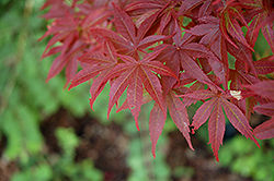 Pixie Japanese Maple (Acer palmatum 'Pixie') at Squak Mountain Nursery