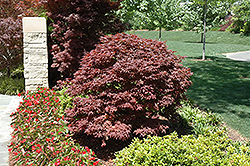 Rhode Island Red Japanese Maple (Acer palmatum 'Rhode Island Red') at Squak Mountain Nursery
