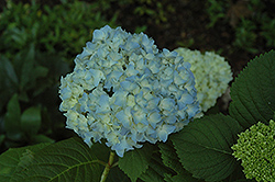 Mini Penny Hydrangea (Hydrangea macrophylla 'Mini Penny') at Squak Mountain Nursery